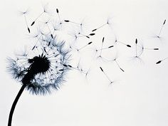 """Le pissenlit (appellé aussi """"dent de lion"""" (dendelion en anglais)) est une fleur qui annonce le printemps. C'est une fleur très commune et pourtant pleine de vertus, notamment médicinales puisque f..."""