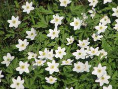 """Valkovuokkojen aikaan ... ©Eeva Santala: """"Valkovuokot kertovat keväästä ja siitä, että kesä on tulollaan.. Kevään vehreys, raikkaus ja kesän odotus sekä valon lisääntyminen tuovat virkeyttä niin luontoon kuin  katsojankin mieleen. Kevät tuo kesän tullessaan!"""""""