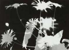 Röntgenfoto van paardenbloemen, Eva Charlotte Pennink-Boelen, c. 1950 - c. 1960