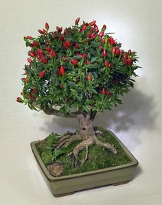 Best DIY tutorial on how to create a bonsai with chili plants. I wonder if you…