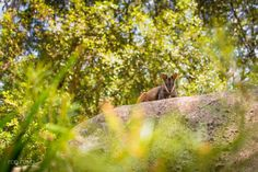 I'm loving the new Rock Wallaby and Kangaroo enclosures at @currumbinsanctuary #currumbinwildlifesanctuary #currumbinsanctuary #outdoors #visitgoldcoast #thisisqueensland #australia #nikon_australia #mynikonlife #watersoilsky #amazing_australia #exploreaustralia #exploringaustralia #d7100 #35mm #jetstaraustralia #openmyworld #wallaby by _robrizzaphotography_ http://ift.tt/1X9mXhV