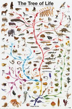 A great Tree of Life infographic poster - Evolution from single-celled organisms to Homo Sapiens! Charles Darwin's theory comes alive! Perfect for classrooms. Fully licensed. Ships fast. 24x36 inches.