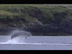 This is a video of Funghi the wild yet friendly dolphin that lives in Dingle Bay, Ireland.  The video was posted by crowseed on youtube. I would love to see Fungie.  My parents visited him last summer and the summer before.  Lucky people! :)