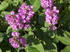 Pähkämö. Korkeus 50 cm. Kukkii heinäkuussa. Kasvupaikka aurinkoinen, kuiva-tuore, keskiravinteinen maa.