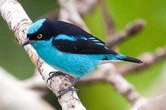 Black-faced Dacnis - Paradise of birds
