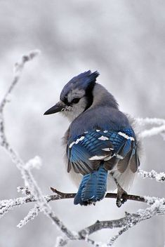 Winter bluejay!
