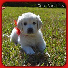 Little Princess Golden!  #puppy #puppies