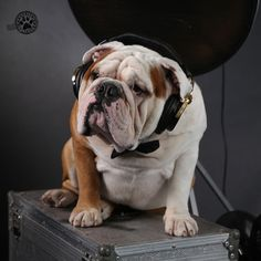 One good thing about music, when it hits you, you feel no pain. #music #cuteness #brooklyn #brooklynmood #pets #dogs #englishbulldogs #bulldogs #greetings #ecards #cards #photography #goodness