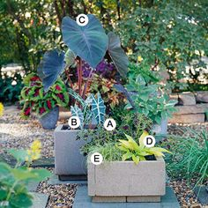 Grow Colorful Foliage: A=coleus 'inky fingers'; B=elephant ears; C=elephant ears 'black magic'; e=sedge 'beatlemania' Container Gardening, Garden Inspiration, Plants, Plant Combinations, Garden Recipes, Garden Containers, Garden Art, Outdoor Gardens, Flowers