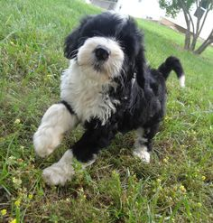 My name is Sophie Marten and yes I strut because my mom picked me from 10 tiny puppies. She waited for me to get big to live with her. My Mom Bonnie loves me sooooooo much. Tiny Puppies, Cute Puppies, Cutest Puppy Ever, Portuguese Water Dog, The Struts, Four Legged, My Mom, Live, Pets