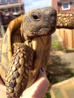 Dennis the Herman's tortoise - Testudo hermanni boettgeri