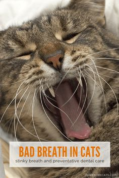 Causes of bad breath in cats, other symptoms and preventative dental care | Does Your Cat Have Bad Breath?
