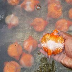 Beautiful Pearlscale Goldfish Goldfish Aquarium, Goldfish Tank, Oranda Goldfish, Aquariums, Animals And Pets, Cute Animals, Betta Fish Types, Golden Fish, Cool Fish