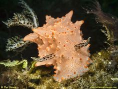 Superb nudibranch taken at the Black Beauty critter site on the south coast of the island of Batanta