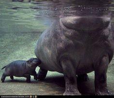 baby hippo, omg<3