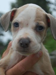 Penny is an adoptable American Staffordshire Terrier Dog in Chester Springs, PA. As of 08/23/13 Penny is roughly 4 weeks of age. She is a perfect example of what happens when people do not spay or ne...