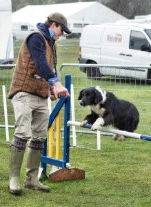 I have a theory that any well trained gun dog can do agility!  This is Henry the sprollie having his first go.