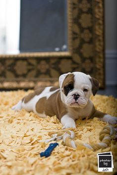 Love the milk chocolate patches on this adorable baby bullie.