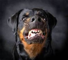 Image Search Results for rotwieller barking