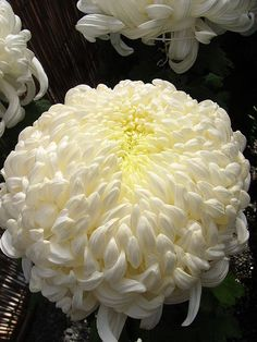 16 best chrysanthemums images on pinterest beautiful flowers chrysanthemum otherwise known as the football mum protractedgarden mightylinksfo