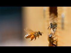 Científicos revelan que las abejas son diestras, zurdas o ambidiestras | El Nuevo Día