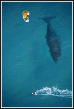 Everyone knows whales are huge. In fact, the Blue Whale is the largest known animal to have ever existed (source). Roughly the length of a basketball court, these majestic creatures are a sight to behold. In this startling image, we see a kite surfer likely unaware that this colossal mammal is right below him.