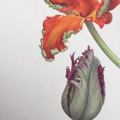 Ann Swan | COLORED PENCIL | Parrot Tulip