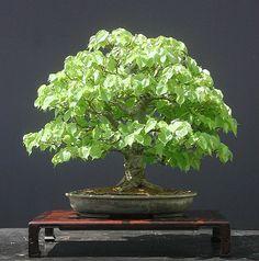 Tilia platiphyllum