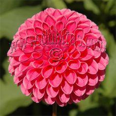 "Rebecca Lynn - Item #268 2.5"" blooms"