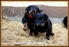 little beaucerons puppies