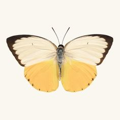 Fine art butterfly photography print of an Orange Migrant butterfly, Catopsilia scylla, by Allison Trentelman.