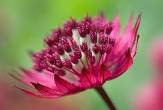 Astrantia. By MyGardenSchool Flower Photography Tutor - Sue Bishop. To learn more about flower photography - study online with Sue: http://www.my-garden-school.com/course/flower-photography/