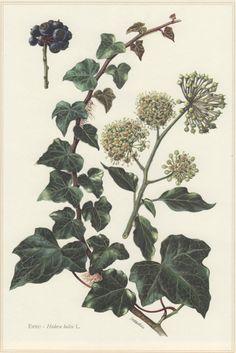 1960 Botanical Print Hedera helix English Ivy by Craftissimo