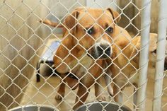 10/31/14 - ODESSA URGENT - Boxer mix female 1-2 years old -Kennel A31 -Available NOW**** $51 to adopt -Her front leg is deformed and she cries out all the time. So sad . Located at Odessa, Texas Animal Control. Must have a valid Drivers License and utility bill with matching address to adopt. They accept Credit Cards, cash or checks. We ARE NOT the pound. We are volunteers who network these animals to try and find them homes. Please send us a PM if we can answer any questions for you.