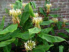 Flori-anders - Hedychium ellipticum - Exotische bloemen en planten