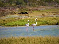 Beautiful flamingos feeding in Langebaan Lagoon. #capetown #ctrci volunteer