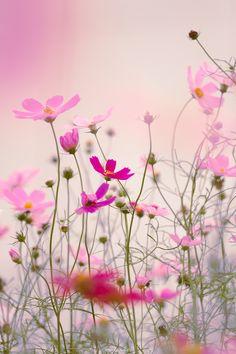 COSMOS FLOWERS MACROPHOTOGRAPHY