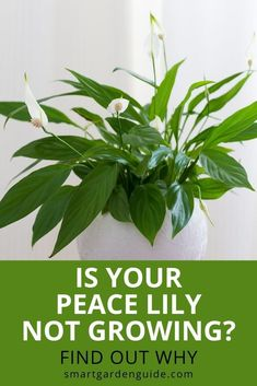 Find out why your Peace Lily isn't growing and what steps to take to help it thrive again. Step by step guide to help you work out what is preventing your Peace Lily houseplant from growing. Easy Care Indoor Plants, Indoor Flowering Plants, Blooming Plants, Low Light Plants, Smart Garden, House Plant Care, Peace Lily, Garden Guide, New Growth