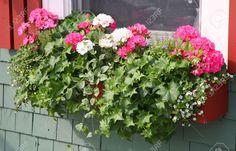 "geranium and ""window box"" - Google Search"
