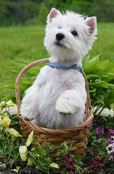 West Highland Terrier in a basket West Highland Terrier, Baby Dogs, Pet Dogs, Beautiful Dogs, Animals Beautiful, Baby Animals, Cute Animals, Australian Shepherds, White Dogs