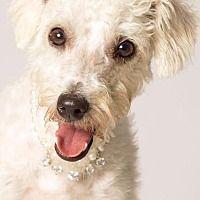 Gilbert, Arizona - Poodle (Standard). Meet Eliza, a for adoption. http://www.adoptapet.com/pet/19221541-gilbert-arizona-poodle-standard