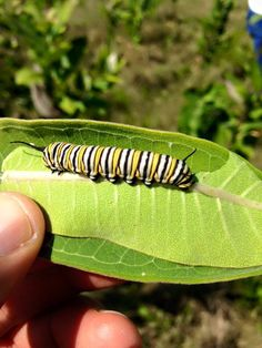 Endangered Monarch Caterpillar... Romantic Suspense, Black Creek Burning, Black Creek Series Book 1, by author R.T. Wolfe. A landscape designer finds help and love as she searches for answers in the death of her parents.