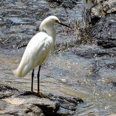 """No man ever steps in the same river twice for it's not the same river and he's not the same man."" - #Heraclitus ________________________________ #dajfotos #nikon# #Brazil #riopiracicaba #water #wildlife #bird #nature #animal #wild #outdoors #rock #environment #beach #sea #seashore #shorebird #pool #lake #piracicaba #river #beak #heron #garça #white #bomdia #goodmorning #fall"