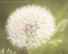 Shoply.com -Dandelion Dreams-Flower Photograph- Fine Art  Print 8x10. Only $20.00