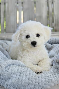 little dog Meet Lola: 6 Pounds of Puppy Love Home is Where the Boat Is cute doggies puppies dog puppy Cute Little Puppies, Cute Dogs And Puppies, Baby Puppies, Little Dogs, Cutest Dogs, Doggies, Love Pet, Puppy Love, Bichon Dog
