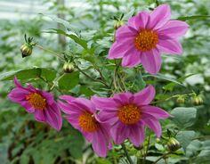 Dahlia - 50 Fab Flowers for Cutting #WoollyGreen