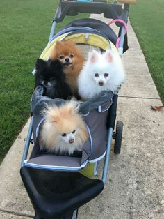Marvelous Pomeranian Does Your Dog Measure Up and Does It Matter Characteristics. All About Pomeranian Does Your Dog Measure Up and Does It Matter Characteristics. Pomeranian Breed, Chihuahua, Pomeranian Facts, Pomeranians, Cute Puppies, Cute Dogs, Dogs And Puppies, Doggies, Animals And Pets