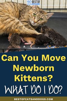 Can You Move Newborn Kittens? Depends on the aggressiveness of the mother cat. Most cats are extra protective during this period, unless you have a good bond with the mother cat, then you may be able to move the kittens right away. Otherwise, you should...Read more here! #NewbornKittens #CatCare #Kittens Cat Health Care, Best Bond, Newborn Kittens, Mother Cat, Cat Care Tips, Healthy Pets, Happy Animals, Period, Dog Cat