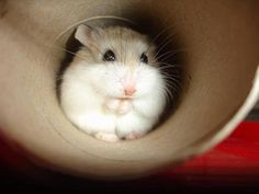 Your Hamsters First Week at Home. How to help your new hamster settle into its new home and how to start the bonding process. Tips for happy hamsters. Robo Dwarf Hamsters, Funny Hamsters, Animals And Pets, Baby Animals, Funny Animals, Hamster De Roborovski, Hamster Care, Mundo Animal, Tier Fotos