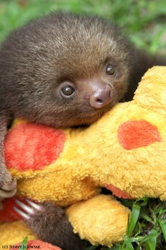 Google Image Result for http://cutestuff.co/wp-content/uploads/2012/02/cute-baby-sloth-with-stuffed-animal.jpg